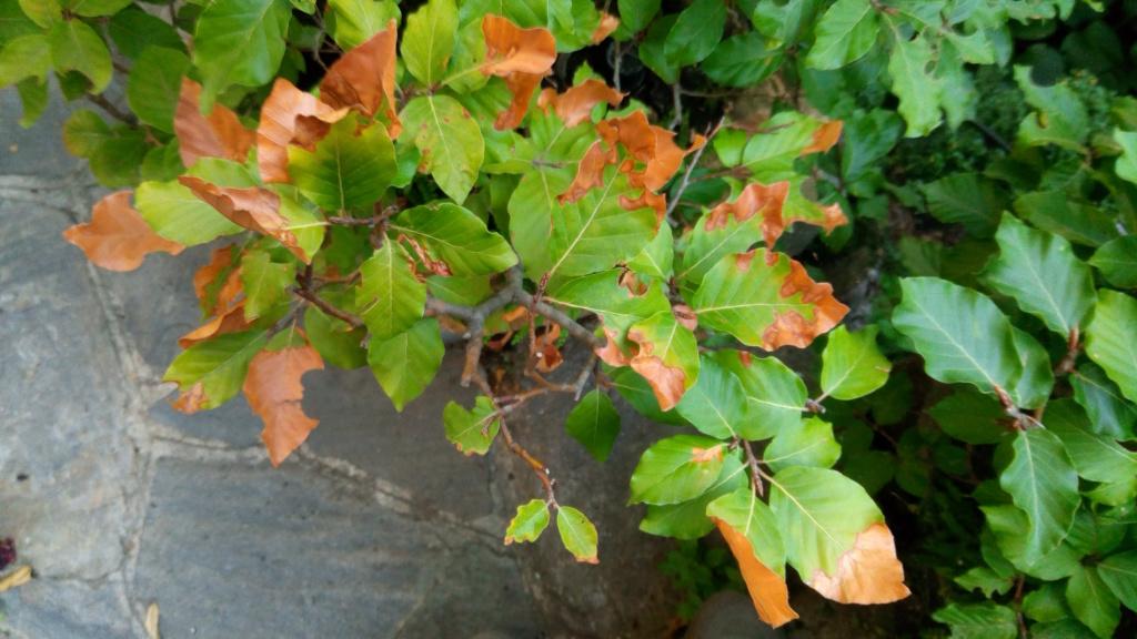 foglie faggio P_202012