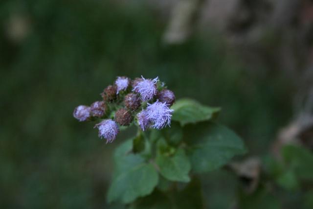 Fleurs au 1er janvier dans mon jardin Agerat10