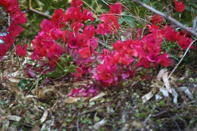 Fleurs au 1er janvier dans mon jardin Bougai11