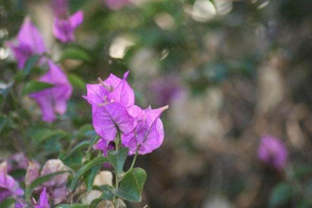 Fleurs au 1er janvier dans mon jardin Bougai12