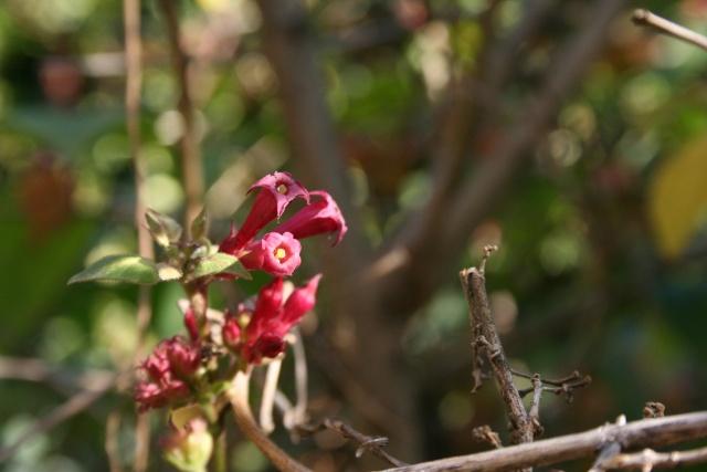 Fleurs au 1er janvier dans mon jardin Cestru10
