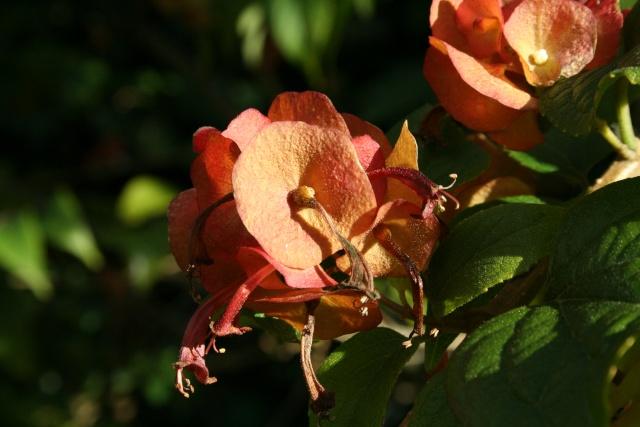 Fleurs au 1er janvier dans mon jardin Holmsk10