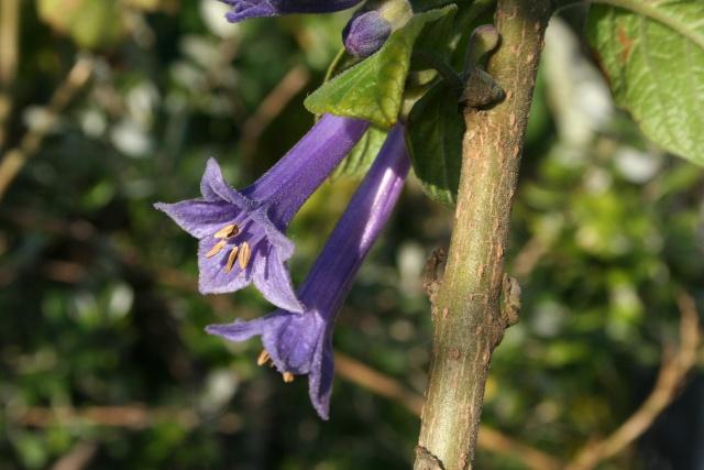 Fleurs au 1er janvier dans mon jardin Iochto11