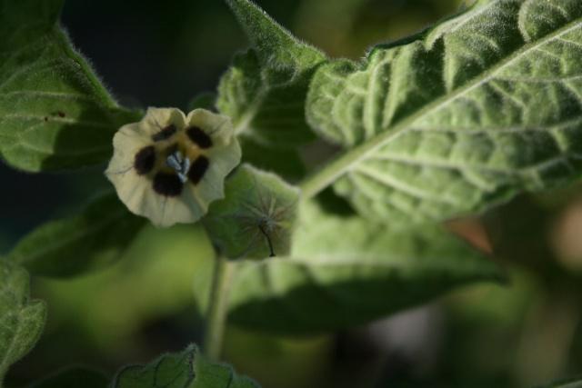 Fleurs au 1er janvier dans mon jardin Physal10