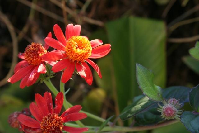 Fleurs au 1er janvier dans mon jardin Pseudi11