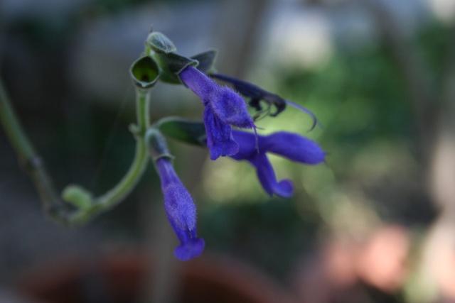 Fleurs au 1er janvier dans mon jardin Salvia13