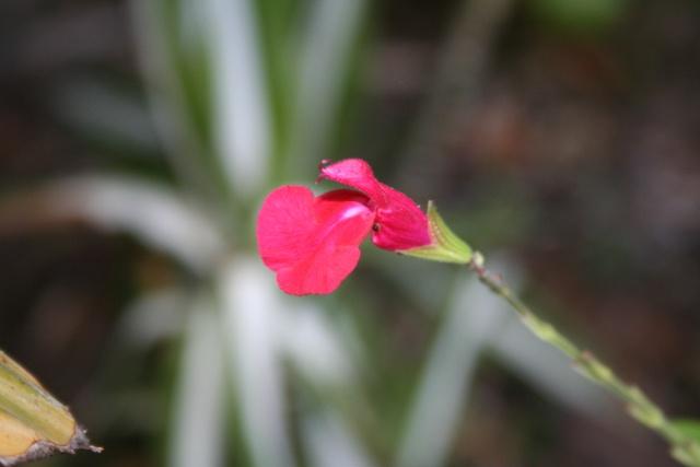 Fleurs au 1er janvier dans mon jardin Salvia15