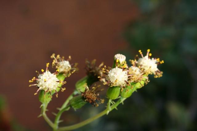 Fleurs au 1er janvier dans mon jardin Seneci10