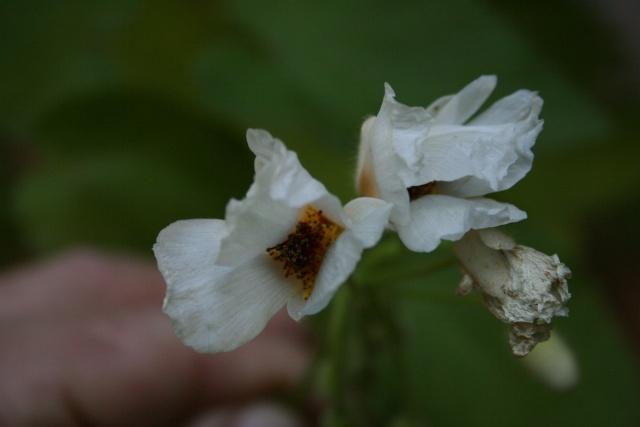 Fleurs au 1er janvier dans mon jardin Sparma10