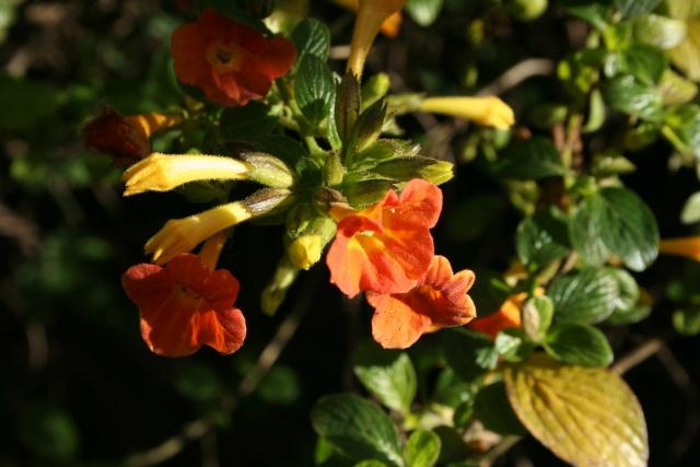 Fleurs au 1er janvier dans mon jardin Strept11