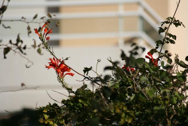 Fleurs au 1er janvier dans mon jardin Tecoma11