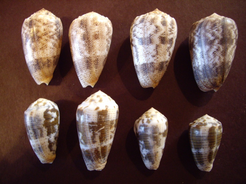 [résolu]Identification de conus Conus_11