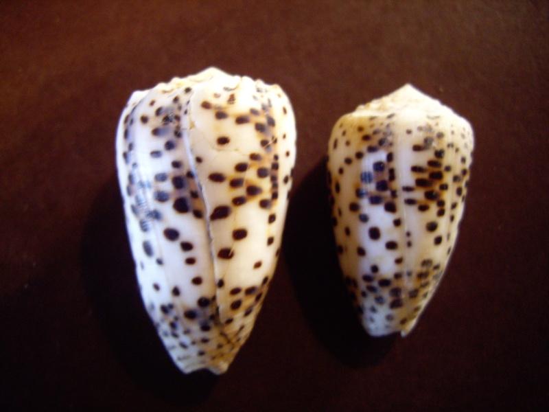 [résolu]Identification de conus Conus_16