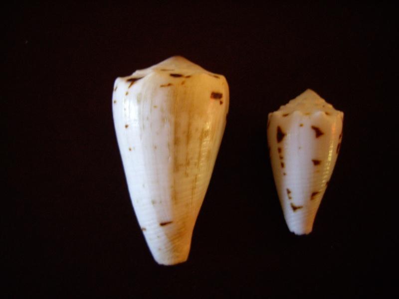 [résolu]Identification de conus Conus_17