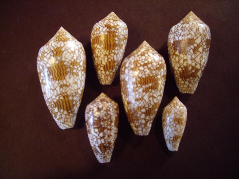 [résolu]Identification de conus Imgp1310