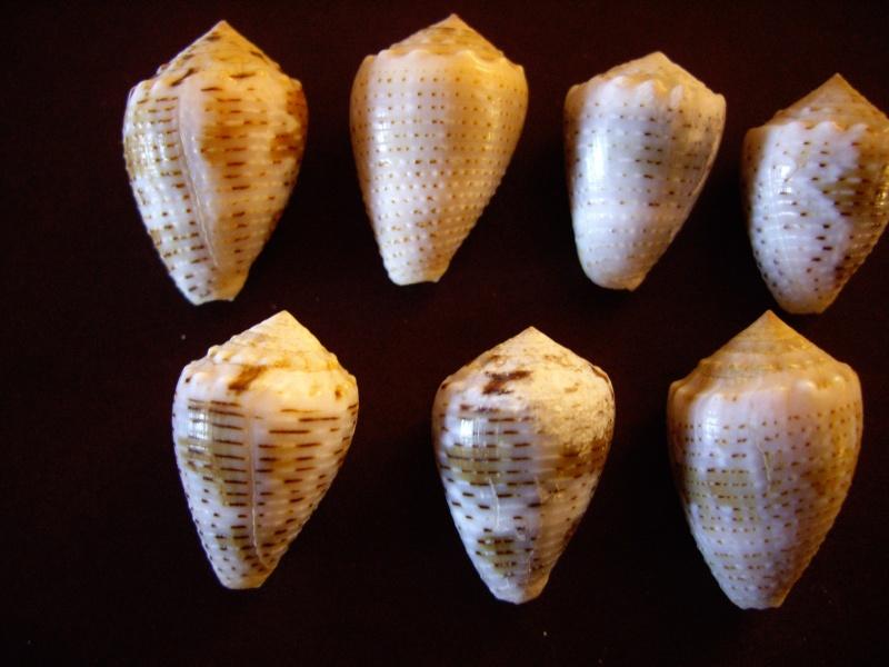 [résolu]Identification de conus Imgp1411