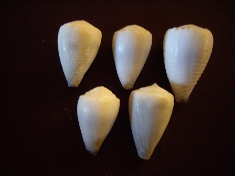 [résolu]Identification de conus Imgp1413