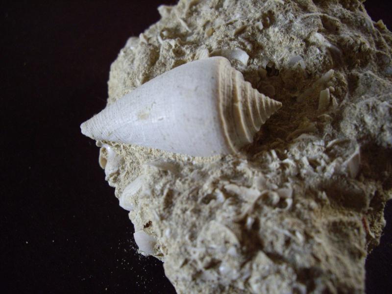 [résolu]Conus (Leptoconus) deperditus (Bruguière 1792) Photo_12