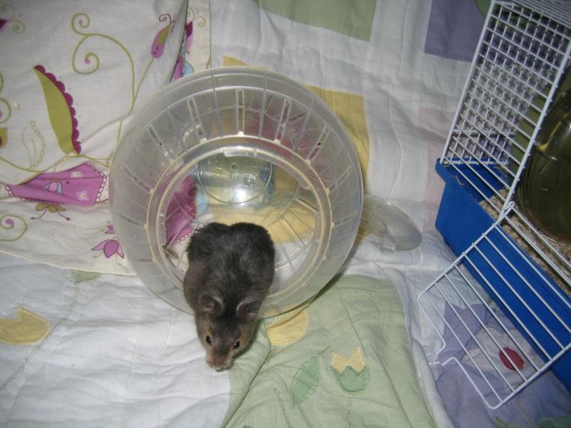 Mickey hamster syrien , 5 mois Img_0110