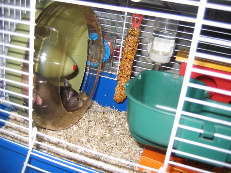 Mickey hamster syrien , 5 mois Img_0210