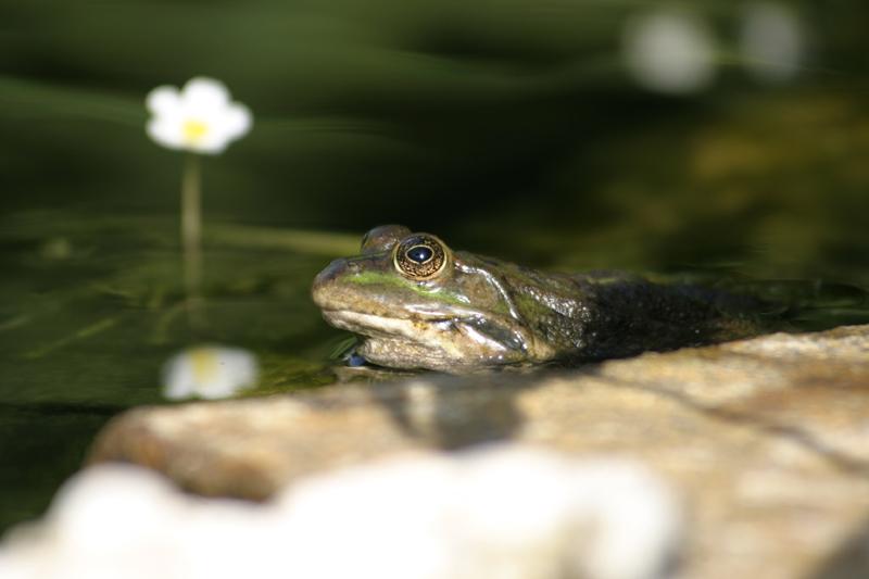 mon bassin et ses grenouilles Grenou11