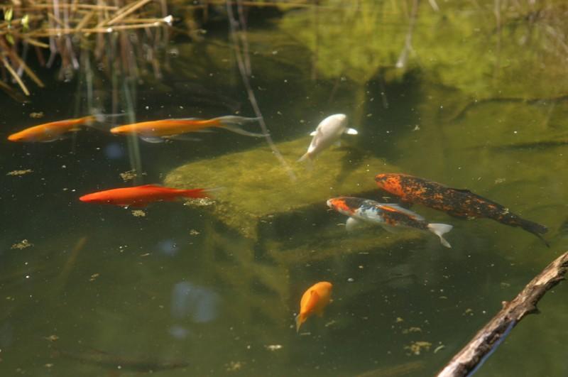mon bassin et ses grenouilles Koi10