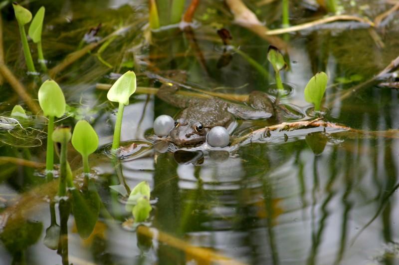 mon bassin et ses grenouilles Photo_10