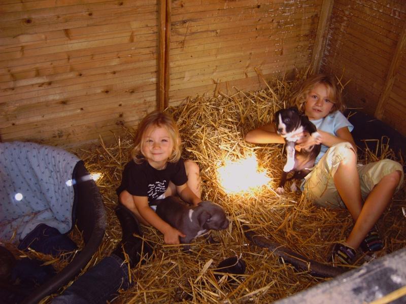 Chiots Amstaff à réserver, dispo 02/10/2010 Img00010