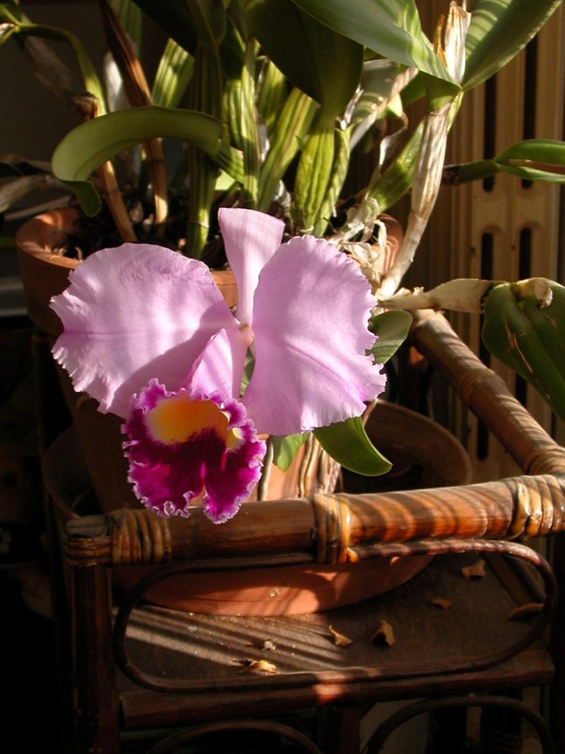 orchidées Catley10