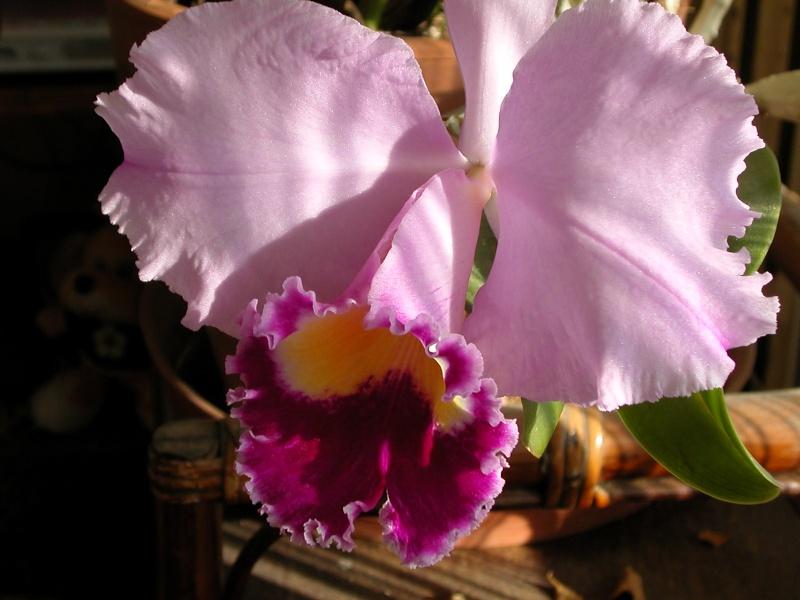 orchidées Catley11
