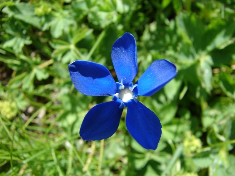 La flore en Haute Tarentaise Dsc02912