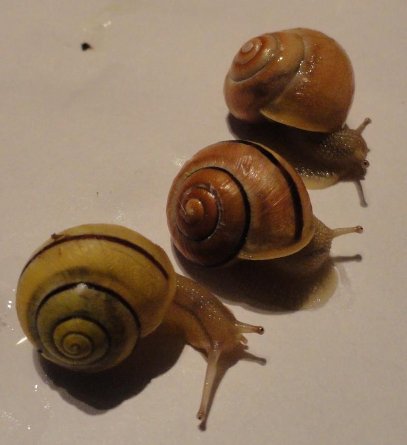 identification escargots Cepaea10
