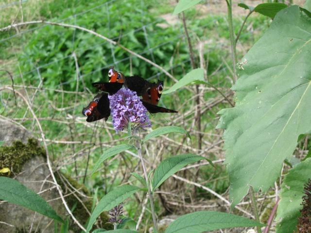 l'Observatoire des papillons de jardin Buddle10