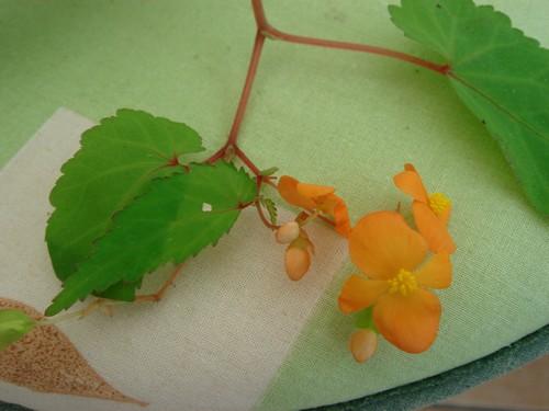begonia sutherlandii Begoni10