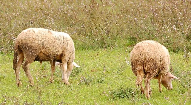 moutons en drome Dsc_8812