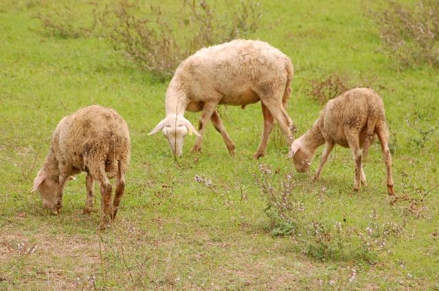 moutons en drome Dsc_8813