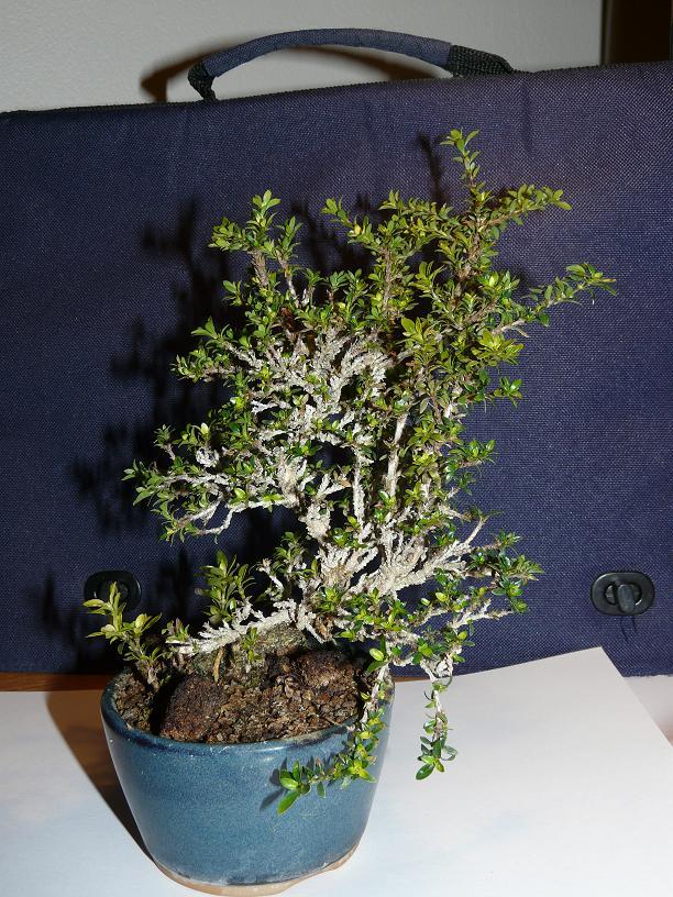 serissa microphylla P1030910