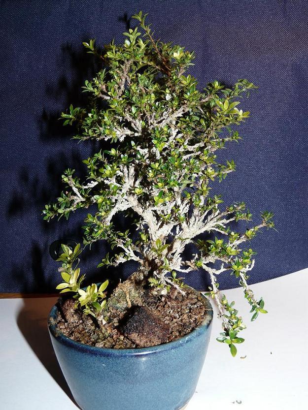 serissa microphylla P1030911