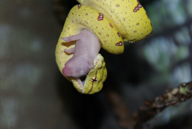 morelia viridis (new photo) Imgp1014