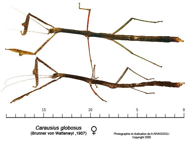 Carausius globosus - femelle adulte Caraus10
