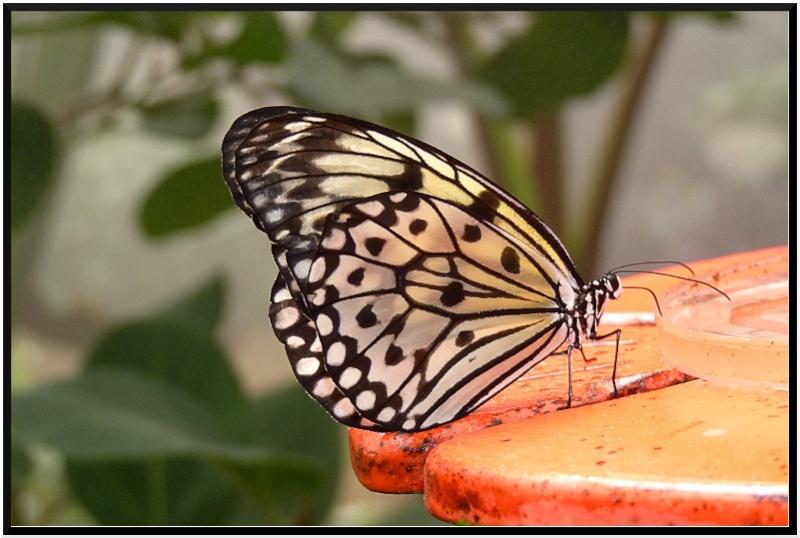Serre au papillons P1090310