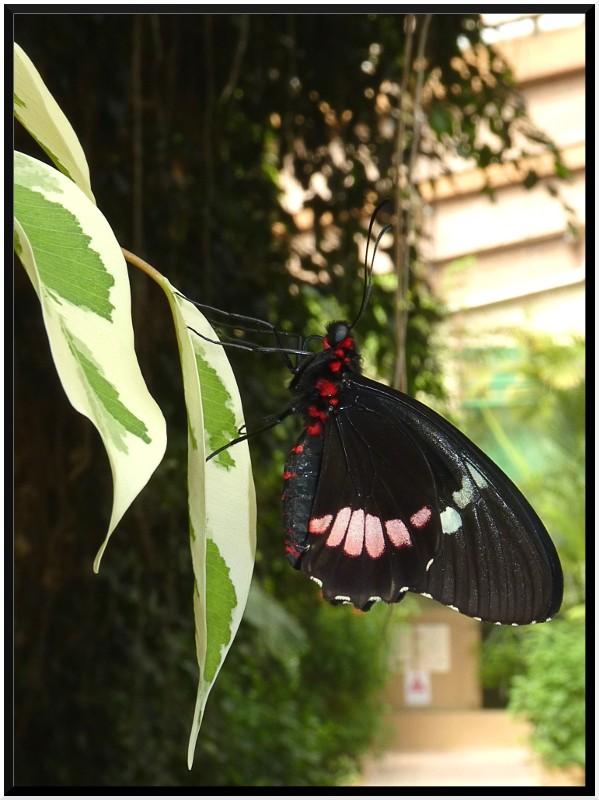 Serre au papillons P1090311