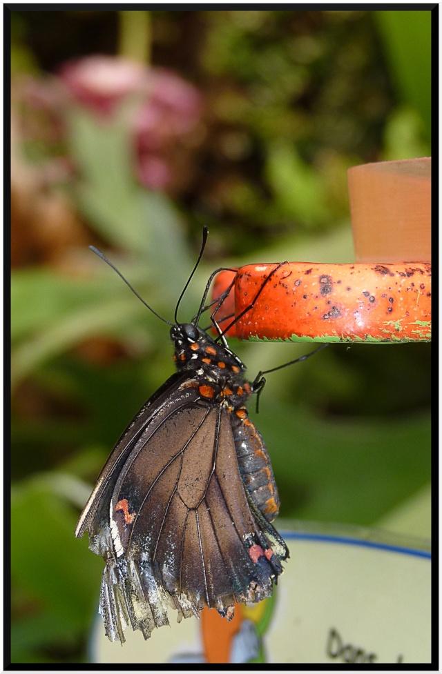 Serre au papillons P1090312