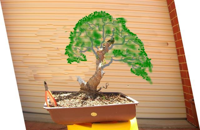 Conseils pour la formation d'un olivier? Olivie11