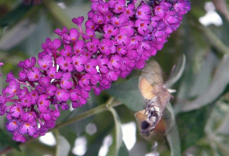 [Macroglossum stellatarum] Sphinx colibri P7250010