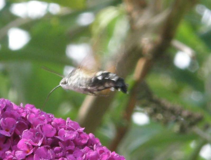 [Macroglossum stellatarum] Sphinx colibri P7250011