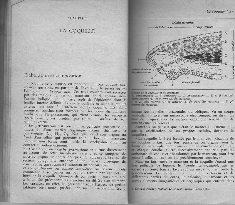 Rostration et nigérisation des Cypraea Rtf110