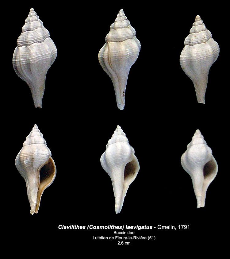 Coquilles du Lutétien de Fleury Clavil10