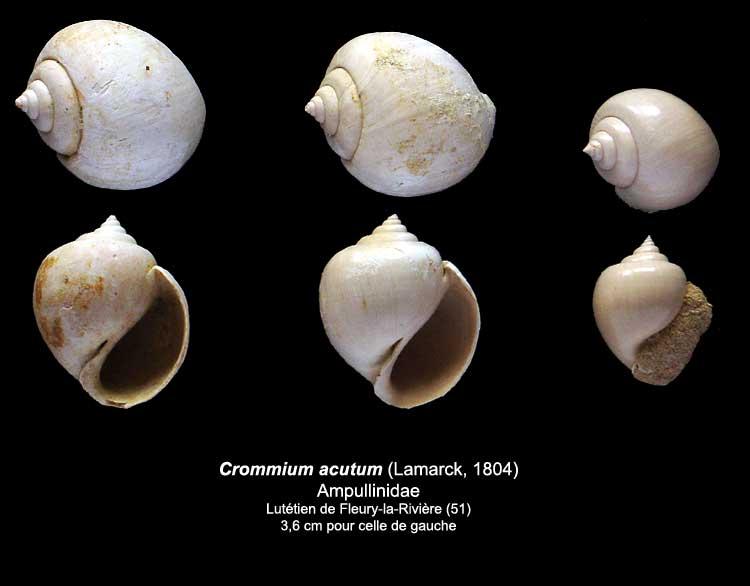 Coquilles du Lutétien de Fleury Crommi10