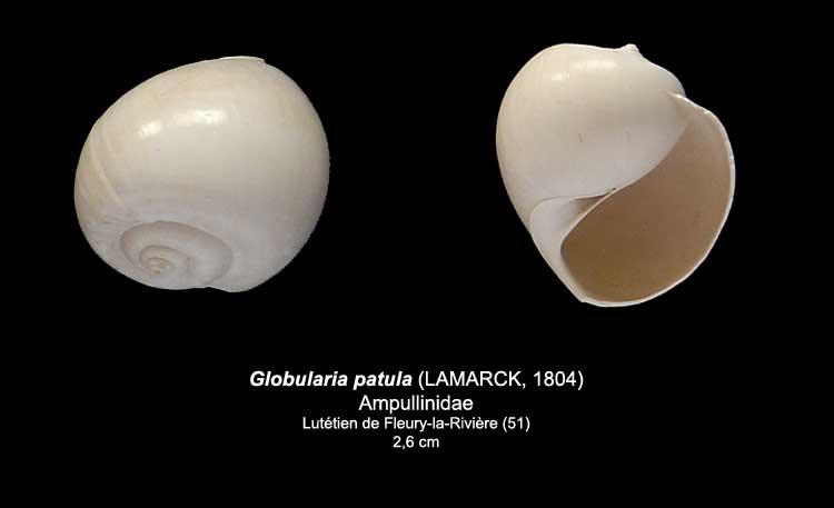 Coquilles du Lutétien de Fleury Globul12